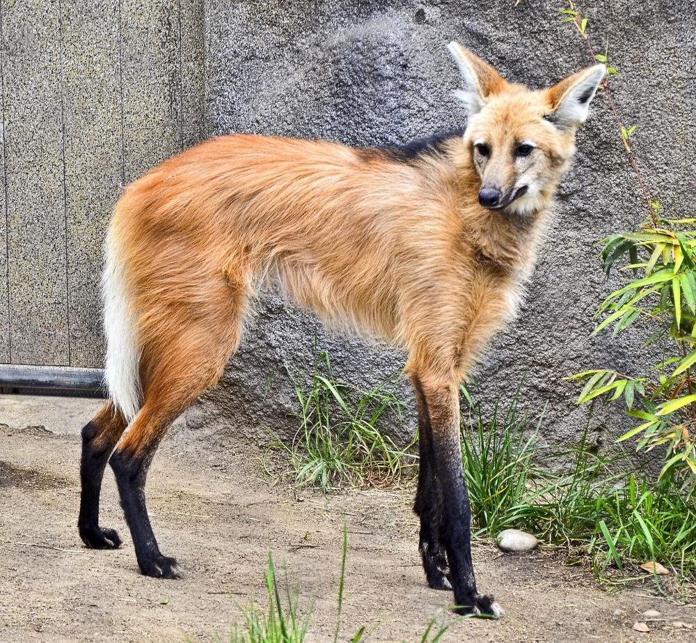 Lobo-guará é o maior canídeo da América do Sul, podendo atingir entre 20 e 30 kg de peso e medir até 1,3 m de corpo