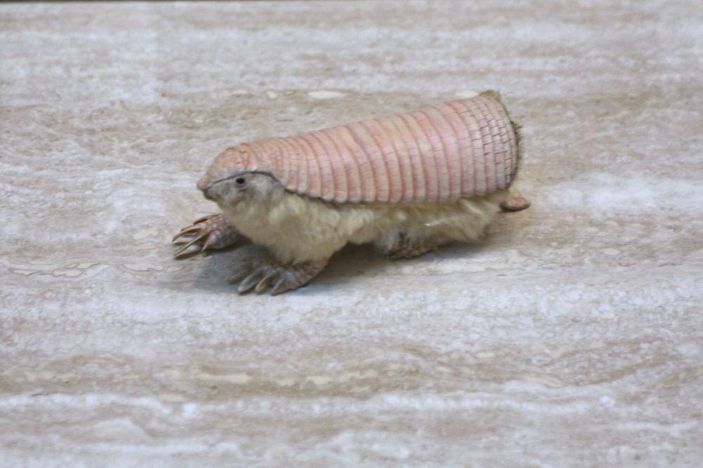 Pichiciegos-menores são os menores tatus do mundo e uma das mais raras espécies de mamíferos da América do Sul