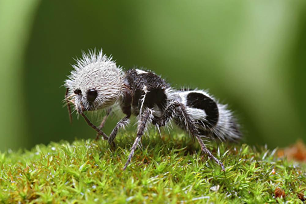Chamados de formigas-panda graças à aparência incomum, esses insetos na verdade pertencem à espécie de vespas endêmicas da América do Sul
