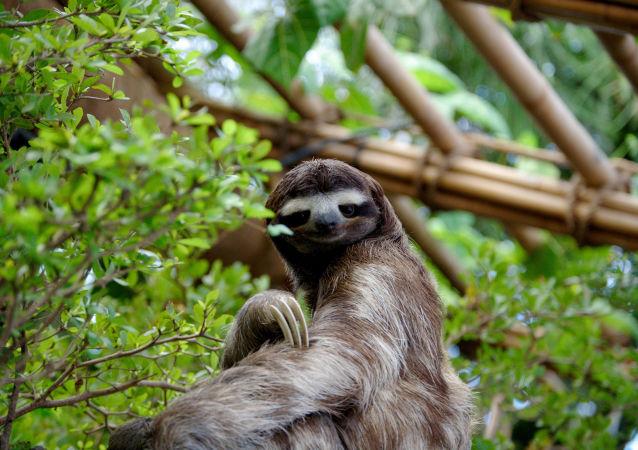 Preguiça-de-três-dedos é uma espécie de bicho-preguiça. Habita o continente americano, sua distribuição natural estende-se da América Central à América do Sul