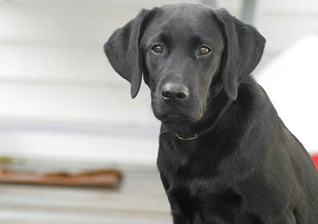 Cão da raça Labrador retriever (imagem de arquivo)