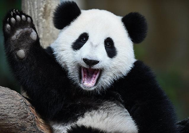 Panda no Zoológico Nacional em Kuala Lumpur, em 23 de agosto de 2016 (imagem de arquivo)