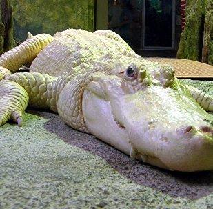 Jacaré albino