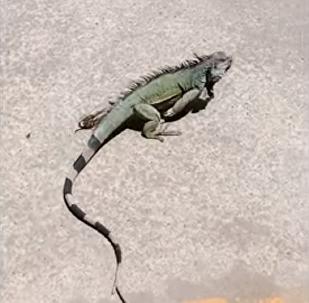 Iguana atravessa estrada