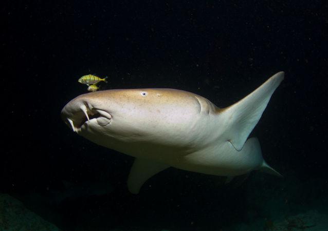 Tubarão-enfermeiro