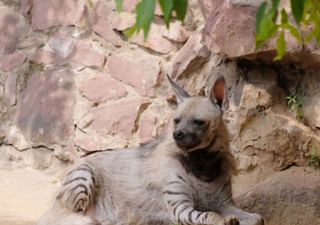Hiena (imagem referencial)