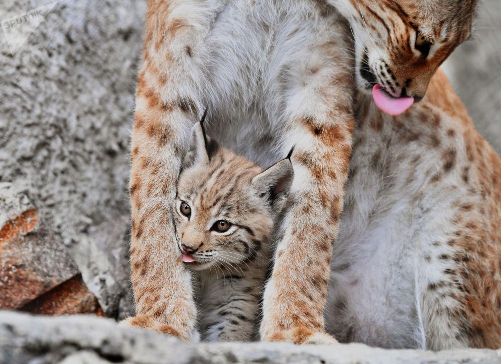 Lince com a sua cria no Jardim Zoológico de Moscou