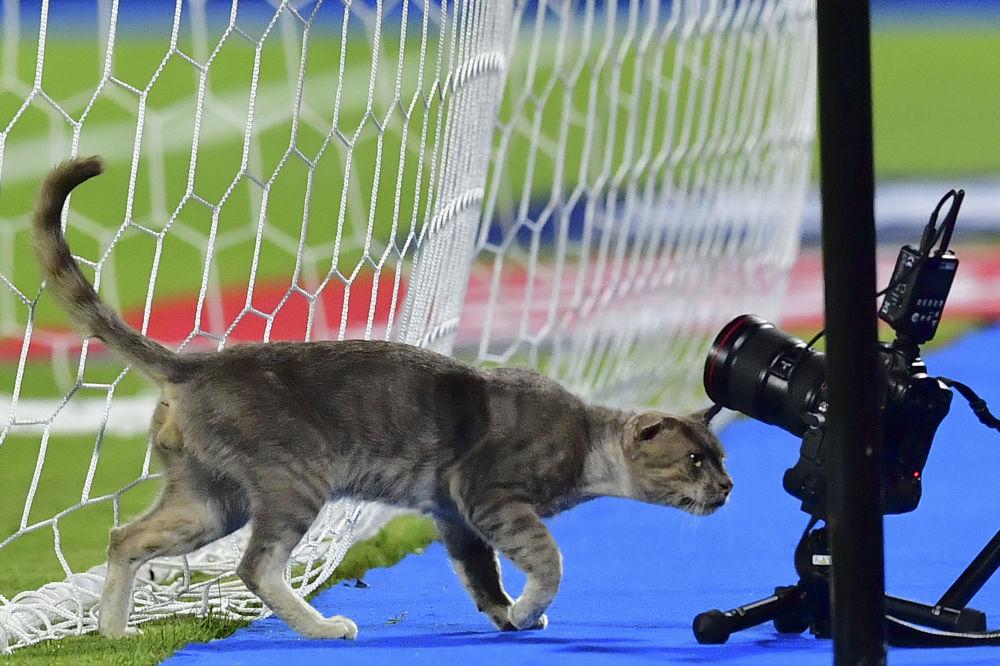 Gato passando por entre as câmaras durante o jogo da Copa de Nações Africanas em um estádio no Egito