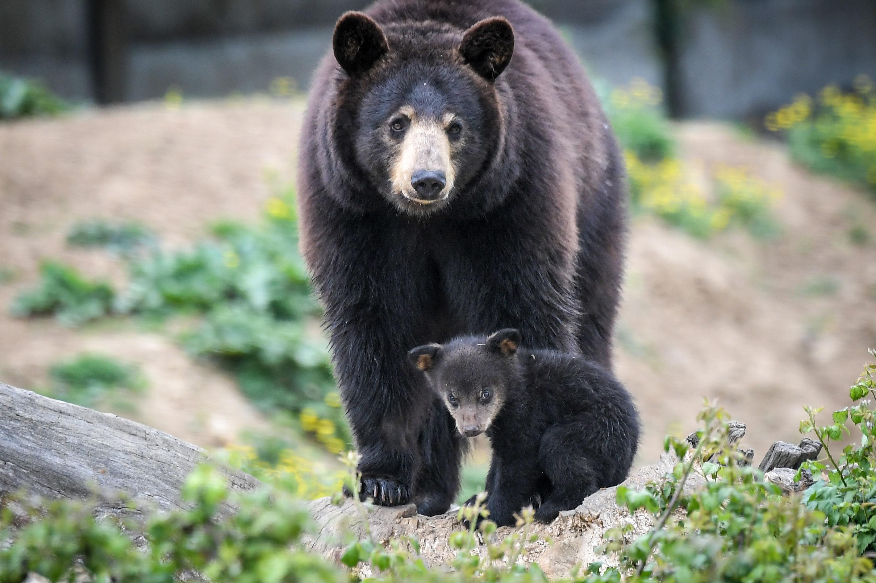 Ursos negros no jardim zoológico Planete Sauvage na França