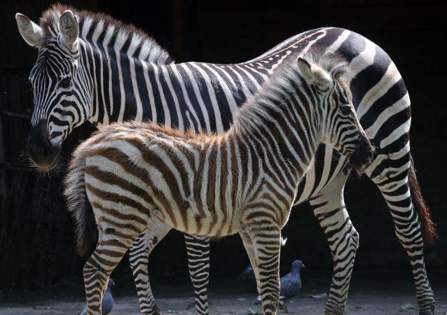 Zebras (foto de arquivo)