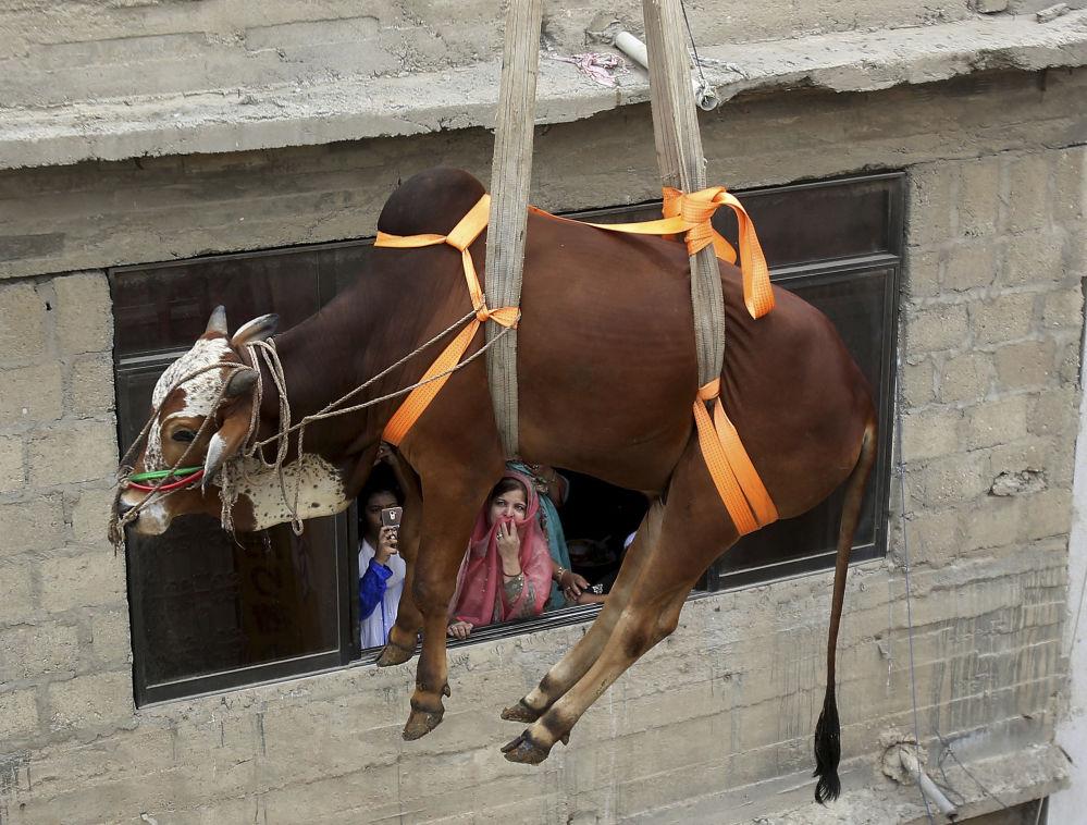 Transporte de touro para venda na véspera da celebração muçulmana Festa do Sacrifício, em Karachi, no Paquistão
