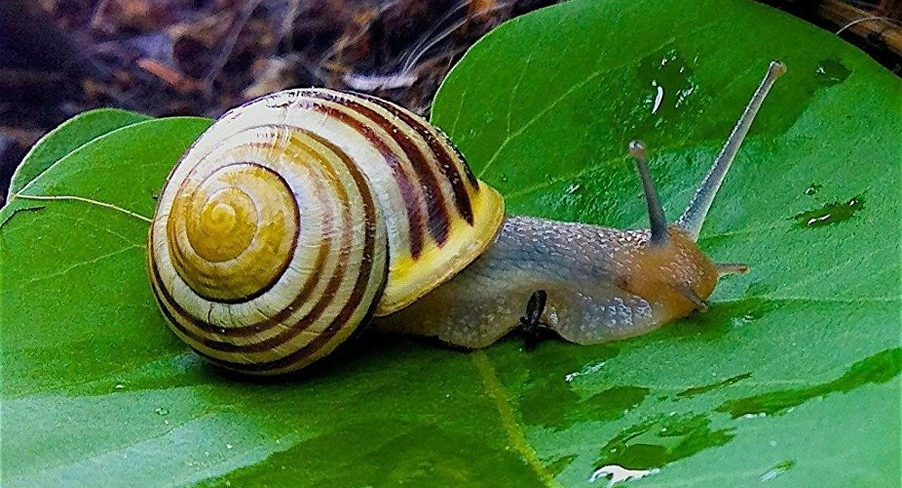 Caracol (imagem referencial)