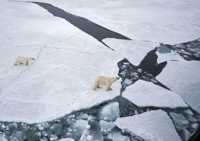 Urso branco com ursinho na área do arquipélago ártico de Franz Josef no Mar de Barents.