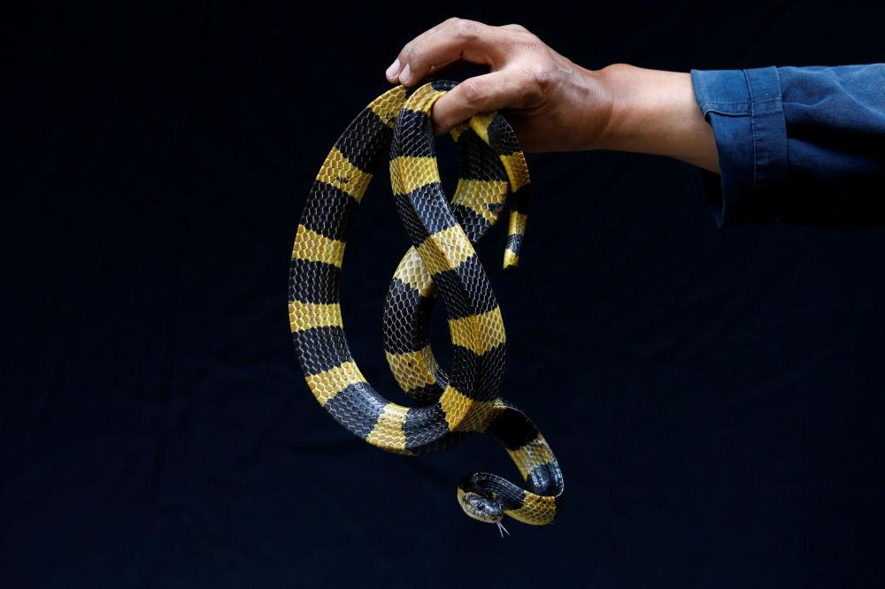 Cobra krait bandado é exibida em quartel tailandês