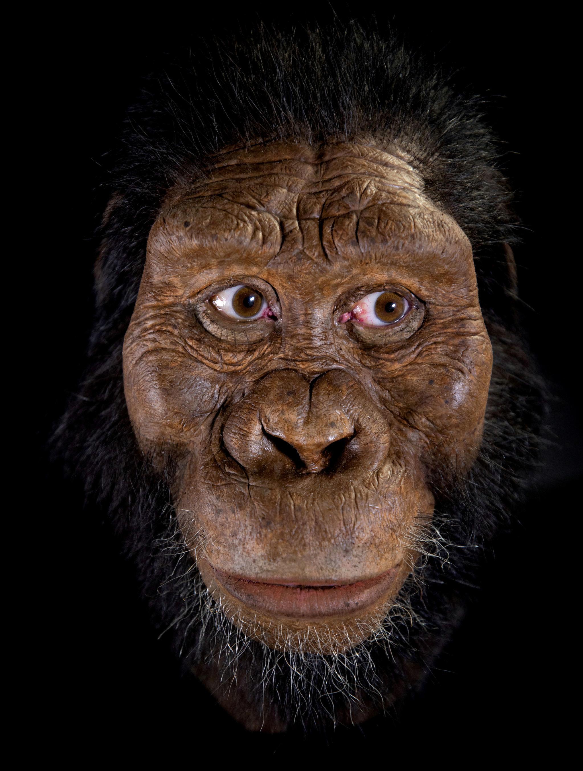 Reconstrução facial por John Gurche da espécie Australopithecus anamensis, baseada em um fóssil craniano quase completo descoberto em 2016 na Etiópia
