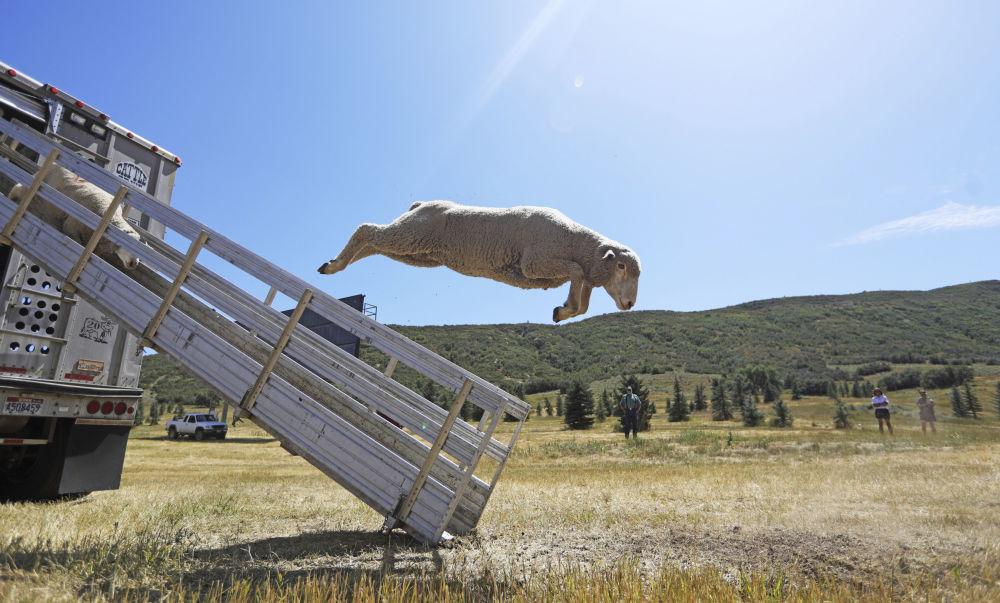 Ovelhas saltam de caminhão no campeonato de cães pastores clássicos de Soldier Hollow, nos EUA