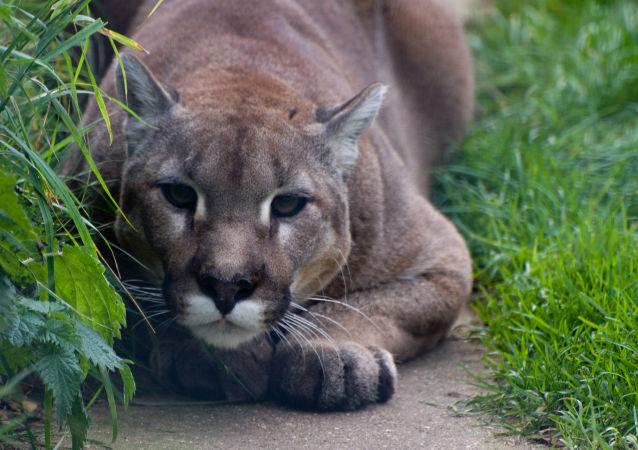 Puma (foto referencial)
