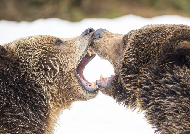 Ursos pardos em combate
