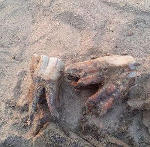 Menino dencontrou ossos e dentes de um rinoceronte-lanudo