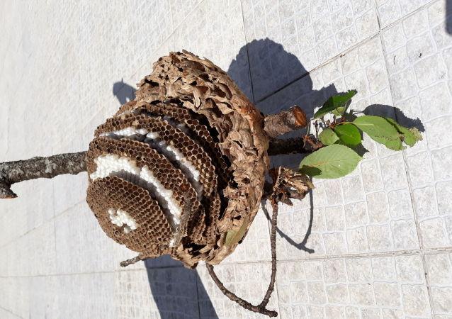 Ninhos de vespas encontrados e eliminados pela apicultora Graça Maria Oliveira, da cidade de Aveiro, em Portugal