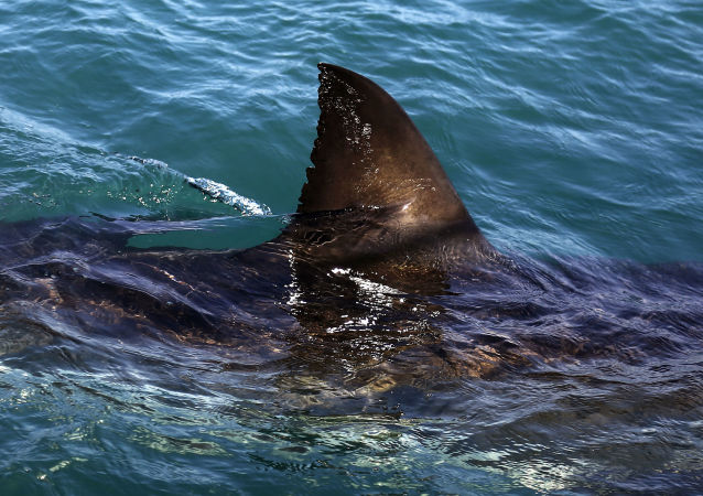 Tubarão Branco nada nas águas de Gansbaai, na África do Sul