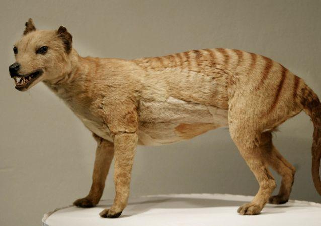 Tigre-da-tasmânia, declarado extinto em 1936, no museu de Austrália