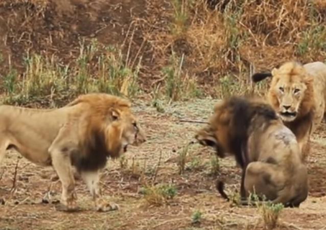 Batalha épica entre leões