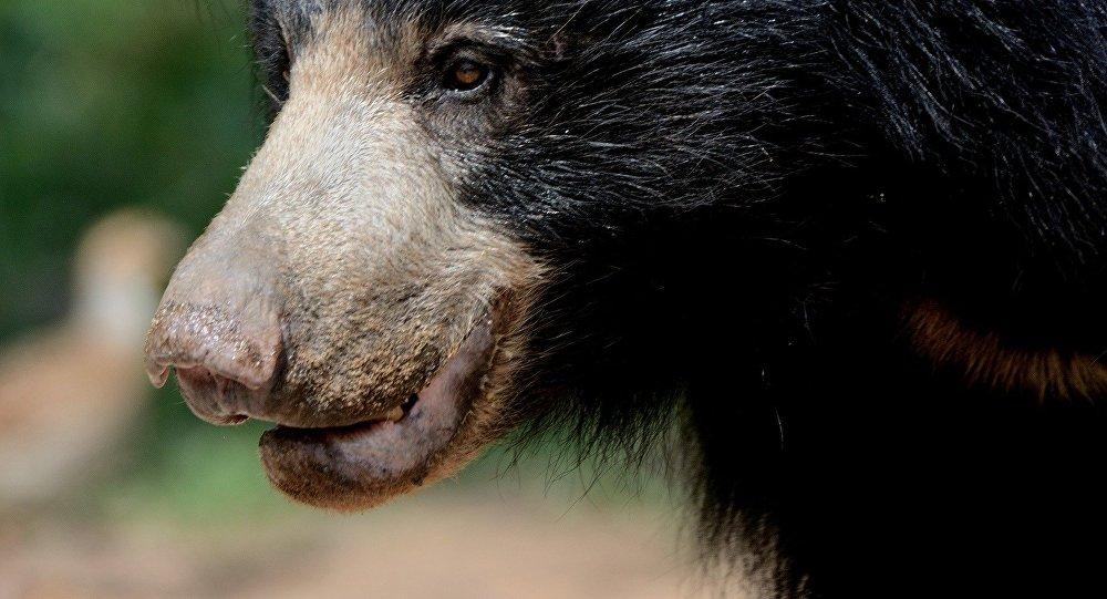 Urso-preguiça (imagem referencial)