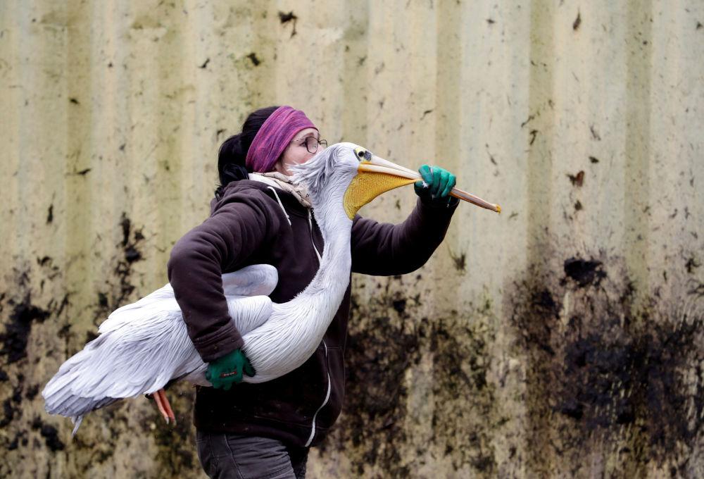 Funcionária do zoológico tcheco Dvur Kravole carregando um pelicano