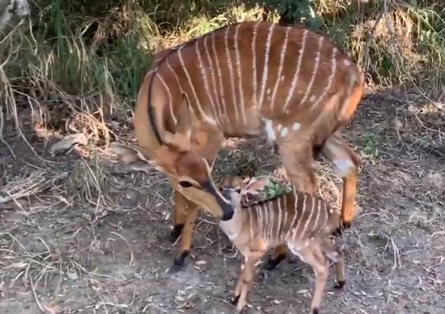 Filhote de inhala com a mãe em safári na África do Sul