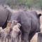Gangue de hienas impiedosamente arranca rabo de rinoceronte