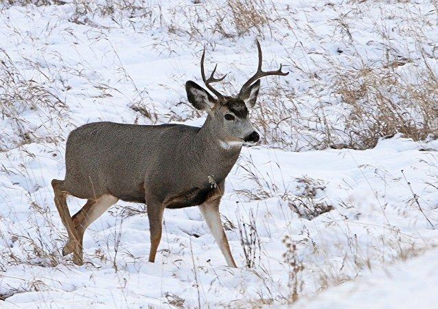Um cervo (foto de arquivo)