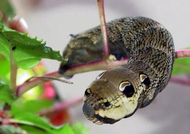 Lagarta cabeça de serpente