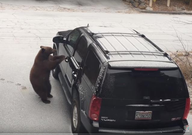 Urso 'se apodera' de carro aos gritos dos verdadeiros donos do veículo