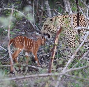 Filhote de antílope luta até o fim contra leopardo