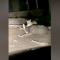 Onça-parda ataca veado pelo pescoço nos EUA