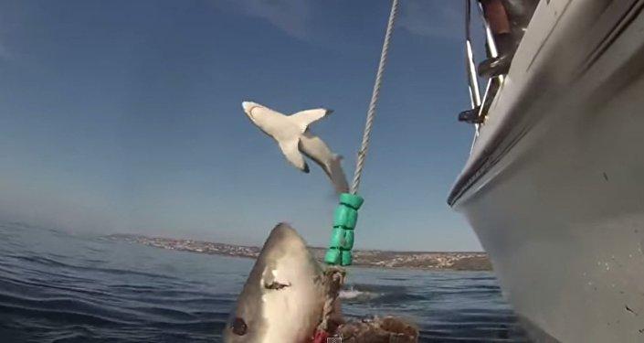 Tubarão branco voador