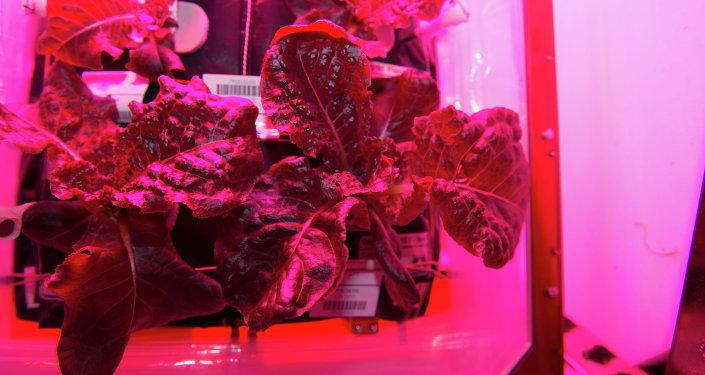 Couve cultivada em laboratório especial 'Veggie'