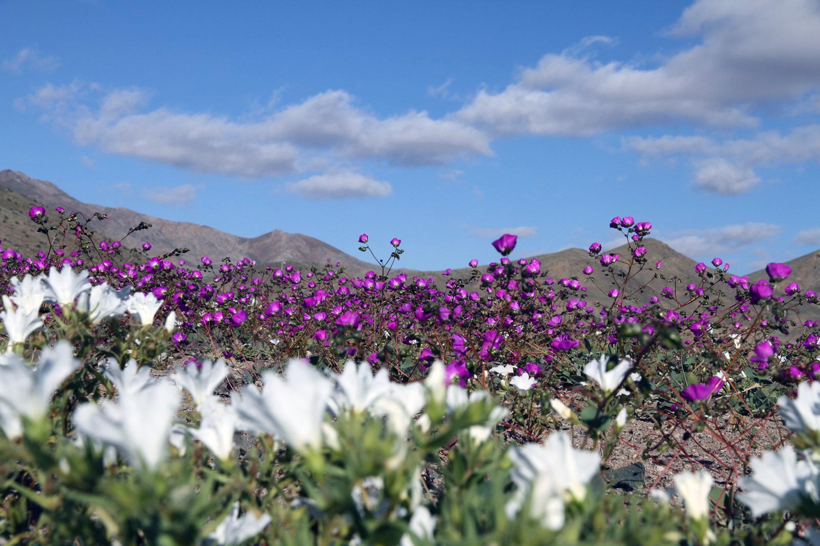 As flores florescem na região de Huasco no deserto de Atacama, cerca de 600 quilômetros ao norte de Santiago