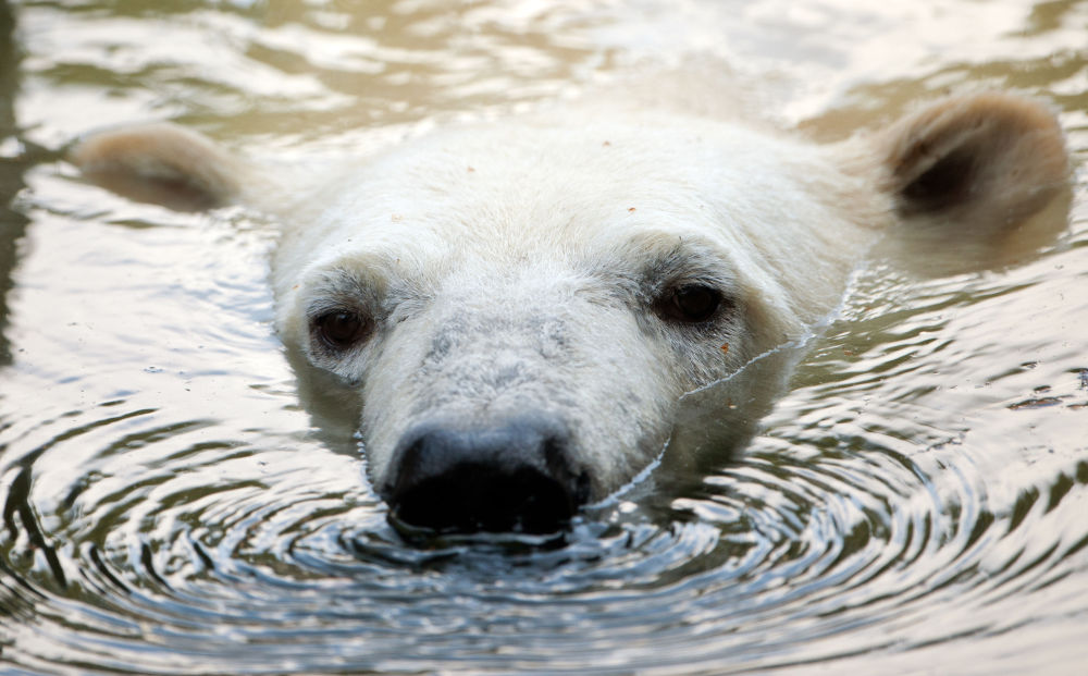 Urso polar no zoológico de Berlim (Alemanha)
