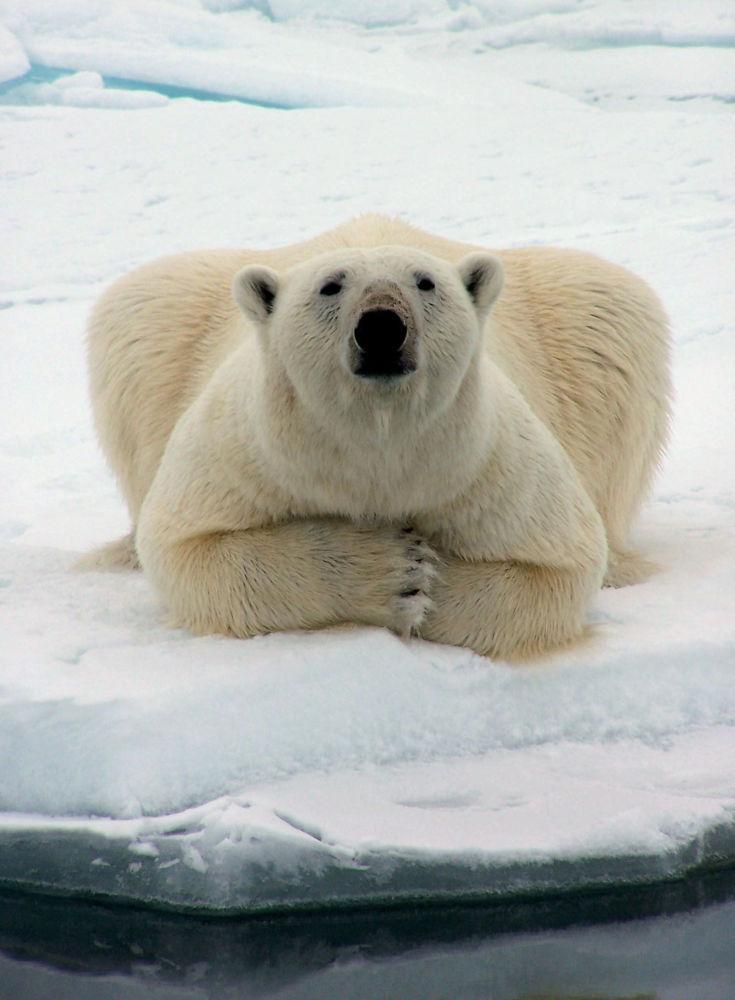Urso polar no Alasca