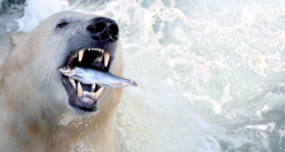 Urso polar se deliciando com peixe no zoológico de Hanover (Alemanha)