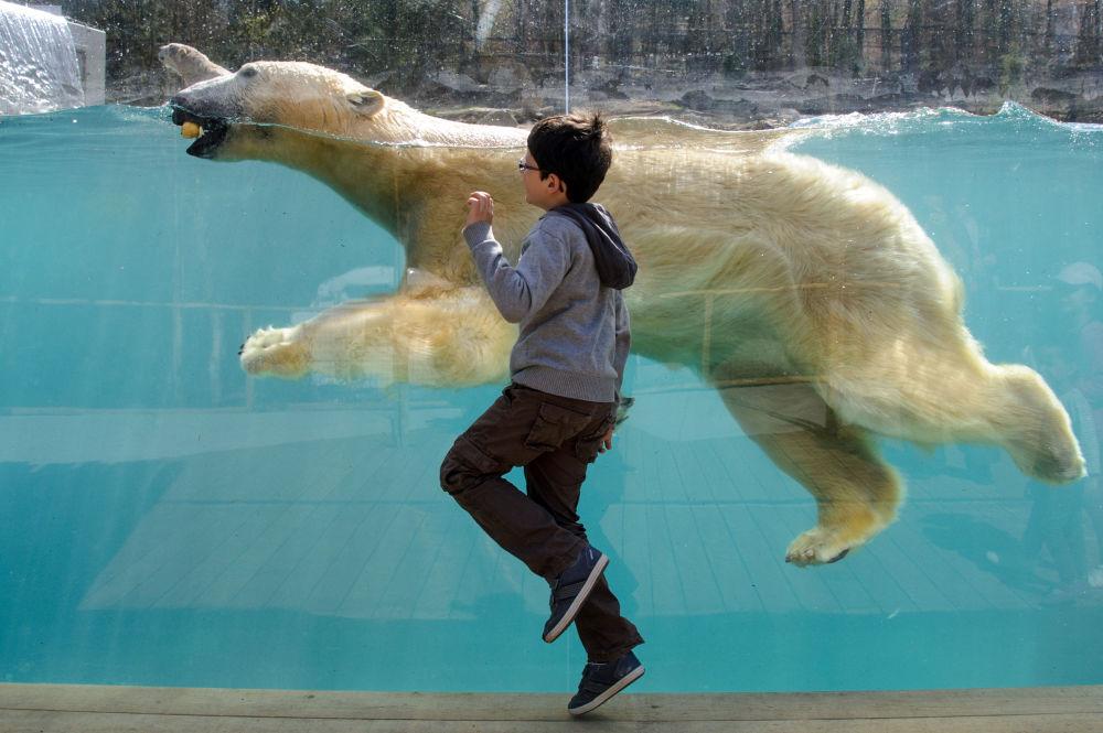 Urso polar no zoológico de Mulhouse (Alemanha)