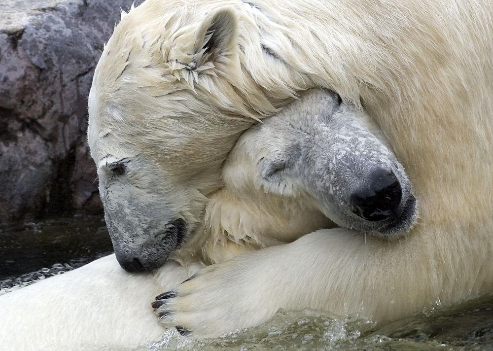 Ursos polares Bill e Lara no zoológico de Gelsenkirchen (Alemanha)