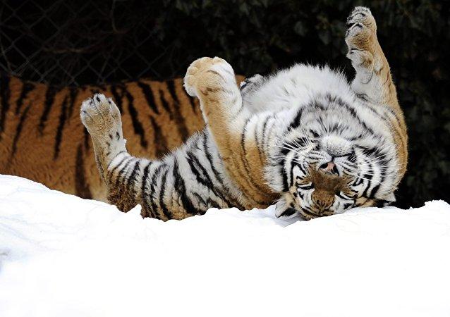 Tigre-de-amur, encontrado no Extremo Oriente da Rússia e no nordeste da China