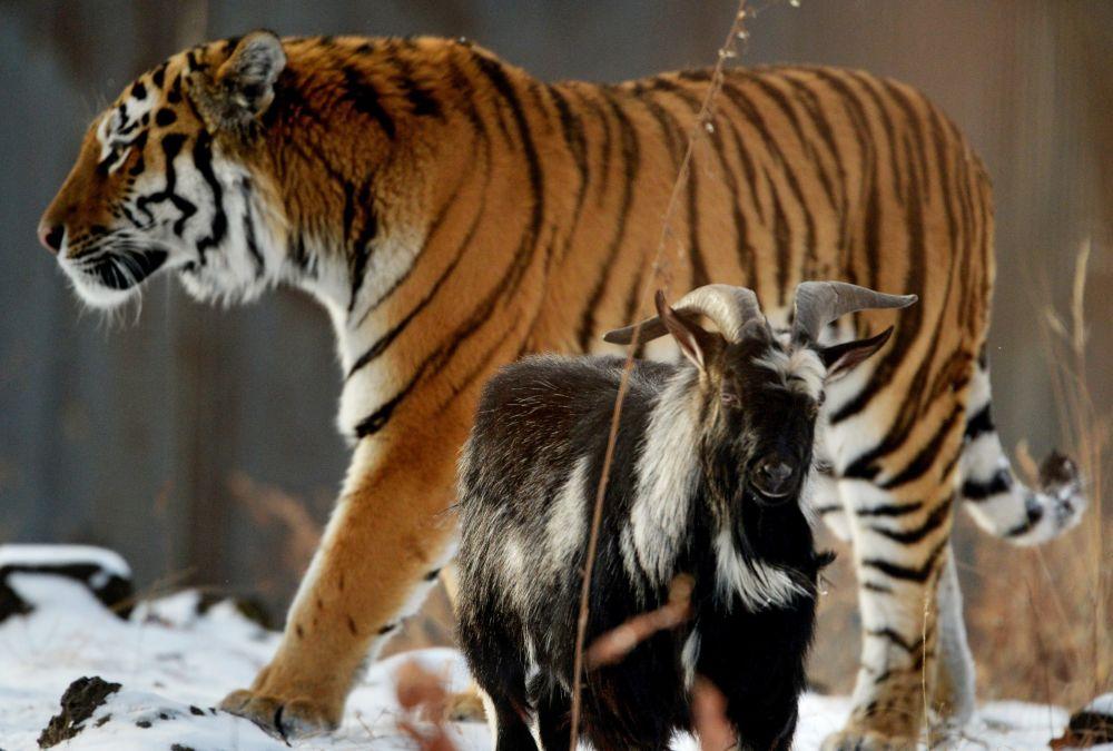 Tigre Amur e cabra Timur no Primorsky Safari Park