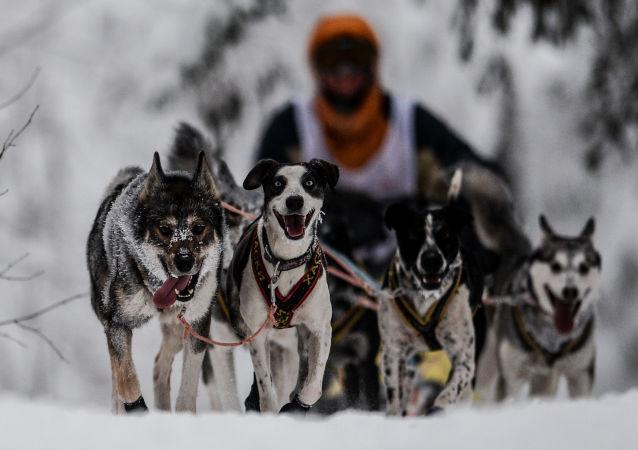 Na Terra do Sampo: Corrida de Cães de Trenó através da Rússia