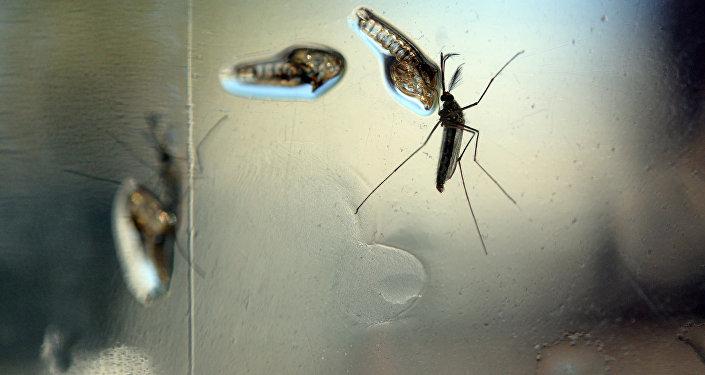 Imagens do Aedes Aegypti capturadas em um laboratório do Ministério da Saúde de El Salvador