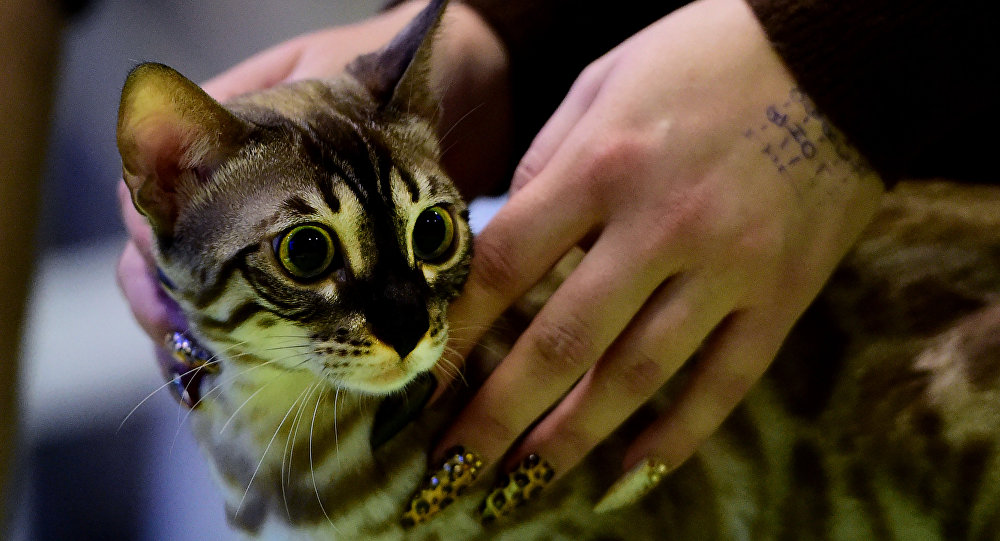 Gato numa exibição de gatos. Foto de arquivo