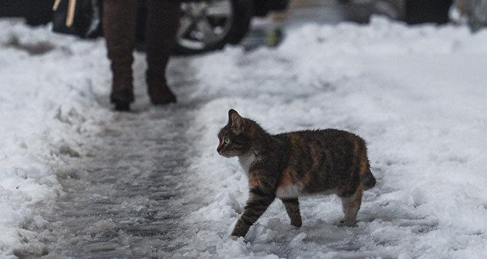Um gato passeia pela rua depois da nevasca em Moscou, em 2 de março de 2016